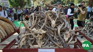 ဖမ်းဆီးရမိတဲ့  တောရိုင်းတိရစ္ဆာန်အစိတ်အပိုင်းတွေကို ဖျက်ဆီးတဲ့အခမ်းအနားကို ရန်ကုန်မြို့မှာ ၂ဝ၁၉ ခုနှစ် မတ်လ ၃ ရက်နေ့က တွေ့ရစဉ်