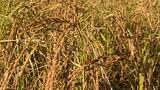 paddy-field-rakhine-160